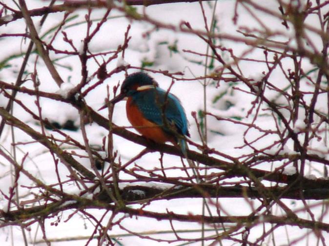 kingfisher 014
